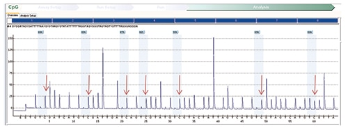 Fig. 4: MLH1 methylation assay on tumor showing an increased percentage of cytosine nucleotides in sequence, a surrogate for methylated nucleotides after bisulfite treatment. (Red arrows indicate an increased percentage of cytosine nucleotides, a marker of methylated nucleotides.)
